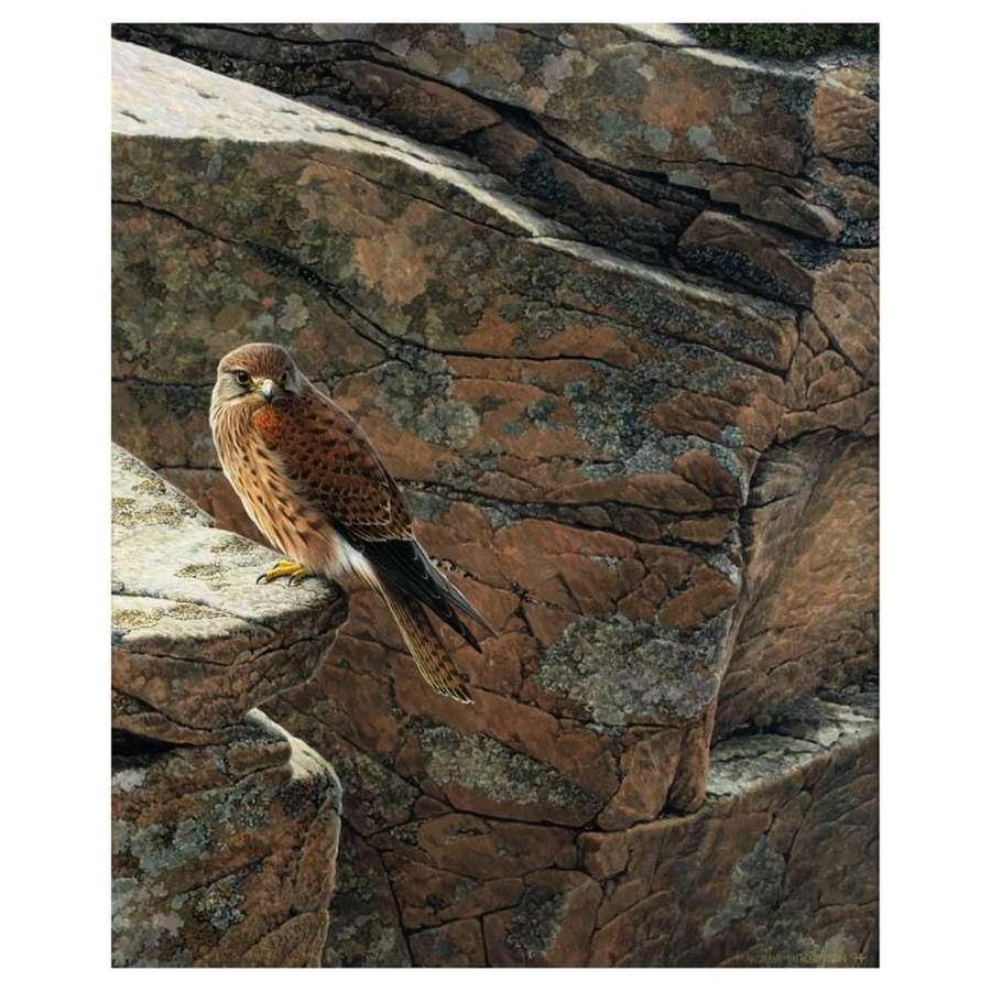 Andrew Hutchinson - Kestrel on cliffs at Torridon